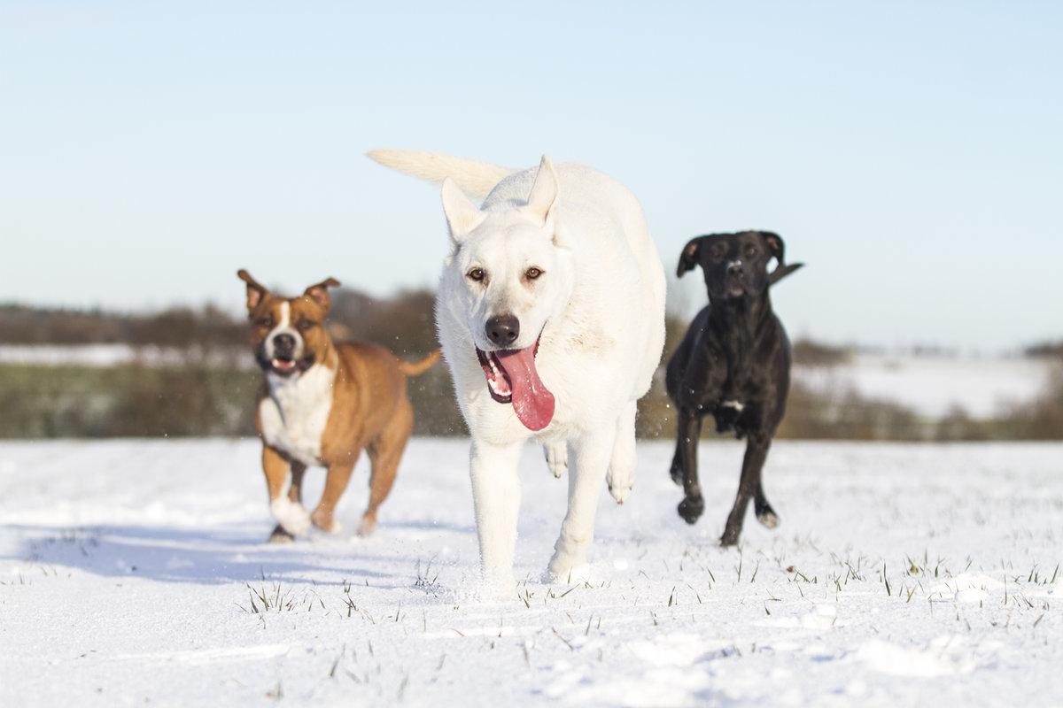 healthy dogs running winter