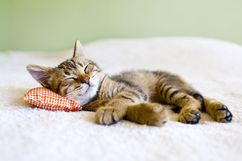 cat sleeping on bed pillow