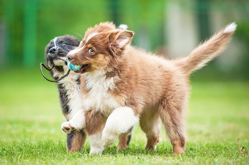 two dogs running in grass, playing with toy