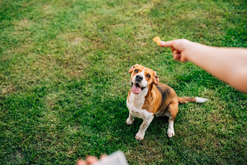 dog training, trainer with treat