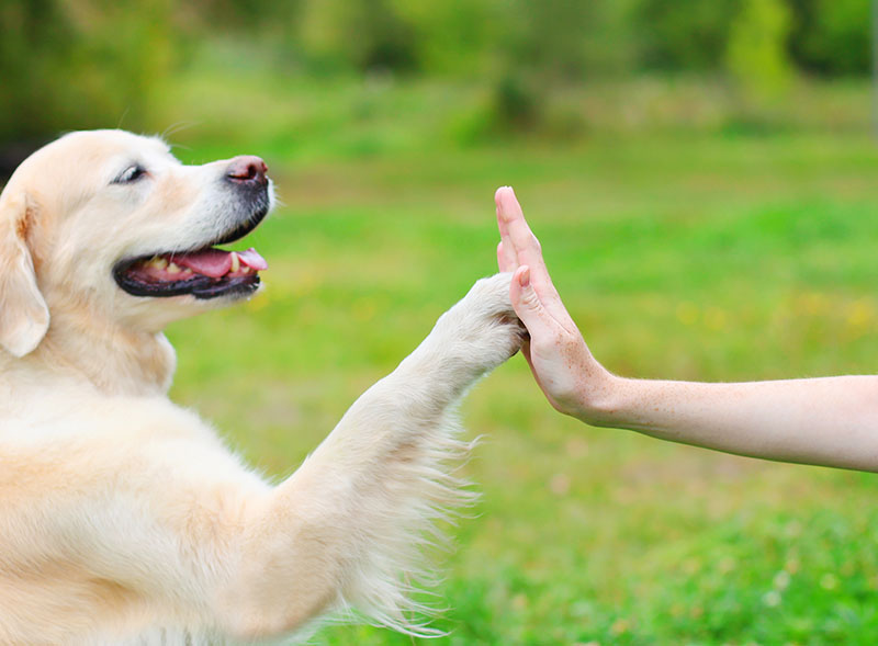 dog training, high five with dog trainer