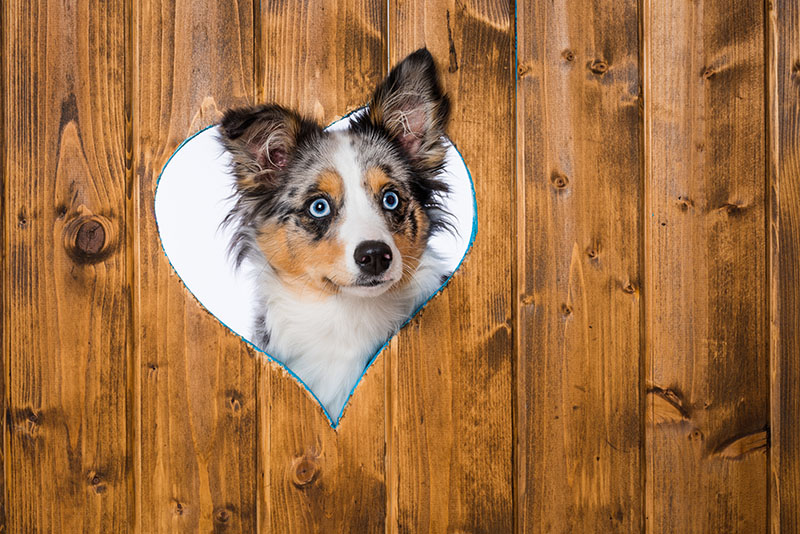 dog peeking through heart cutout in fence