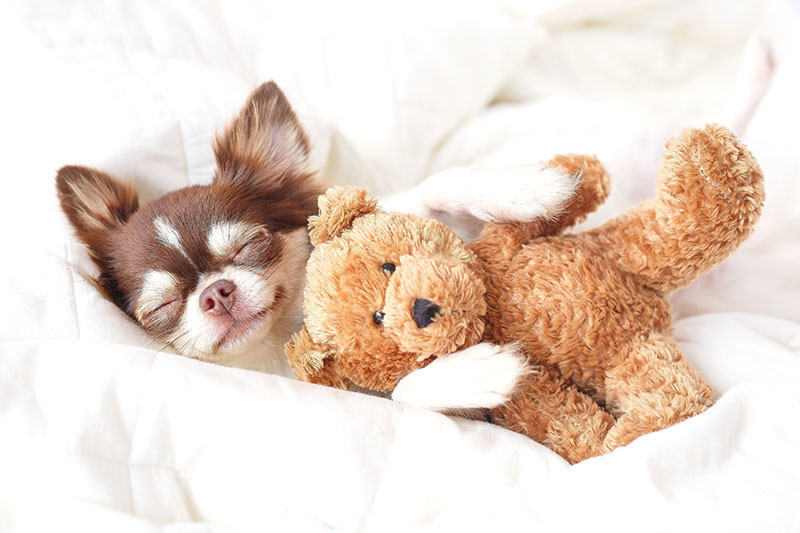 little dog sleeping with teddy bear