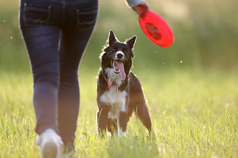 dog playing frisbee with human