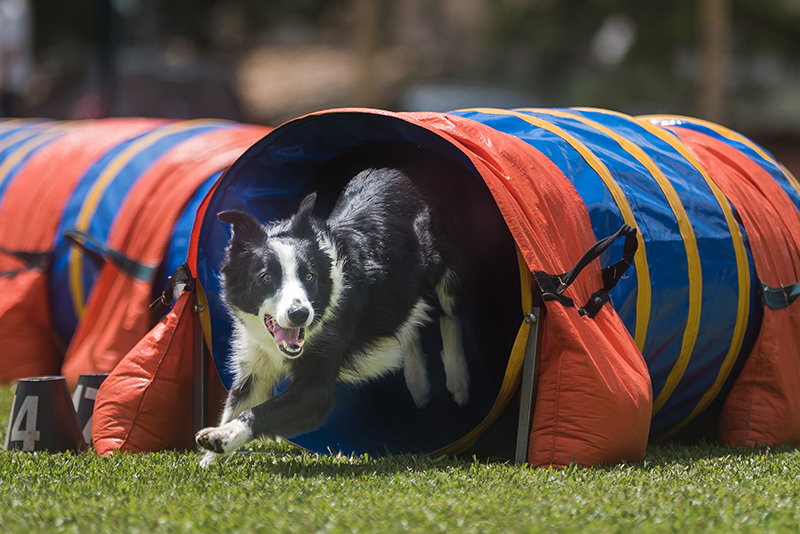 dog playing in tunnel