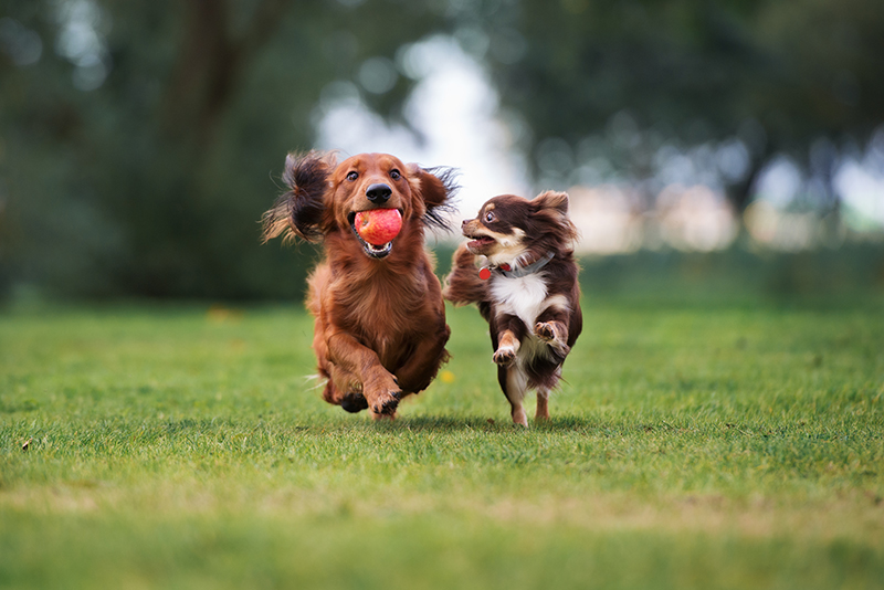 two dogs running playing with ball in field