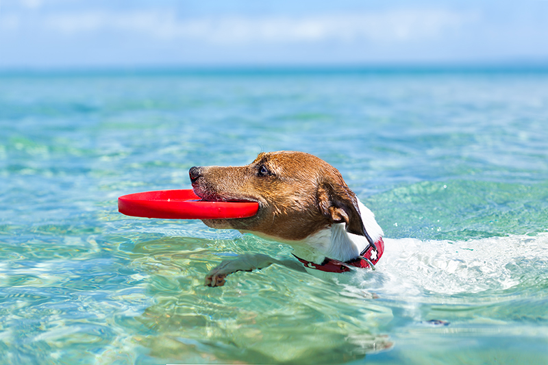 dog playing with frisbee in ocean