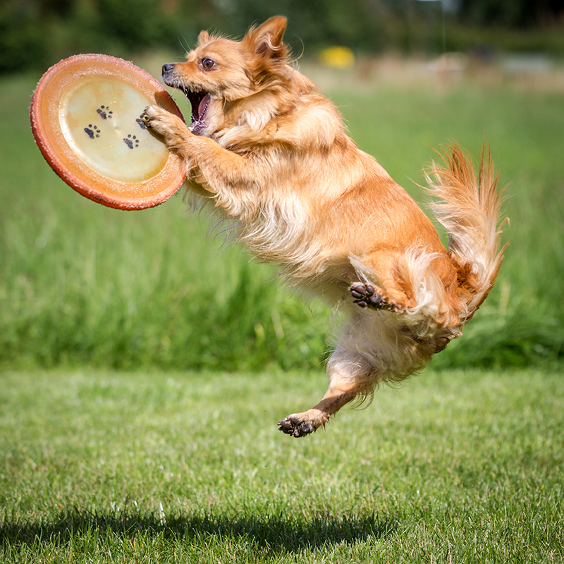 dog jumping to catch frisbee