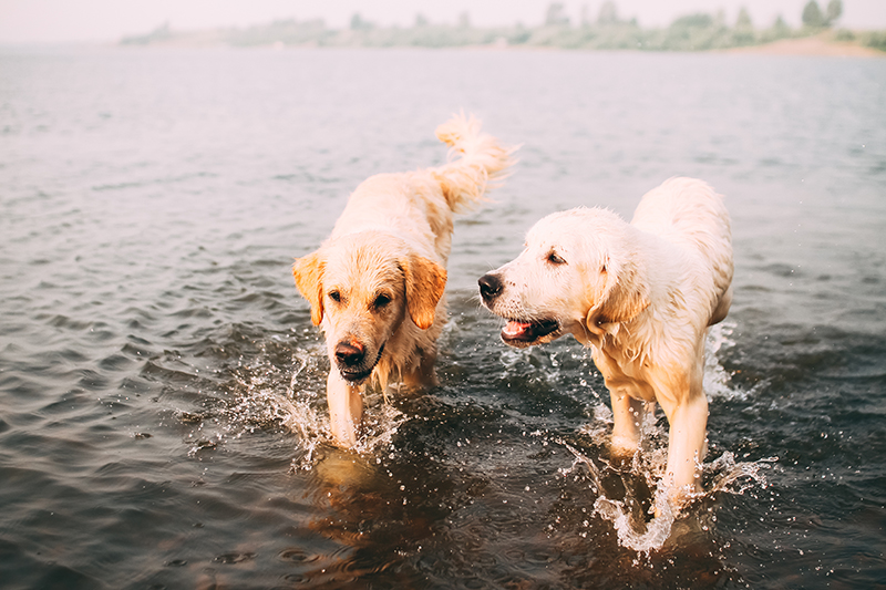 two dogs playing in lake