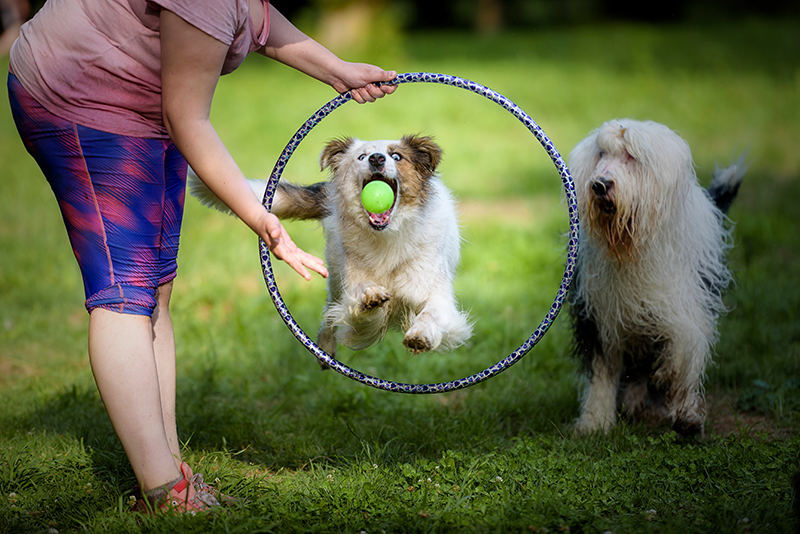 dog with ball jumping through hoop