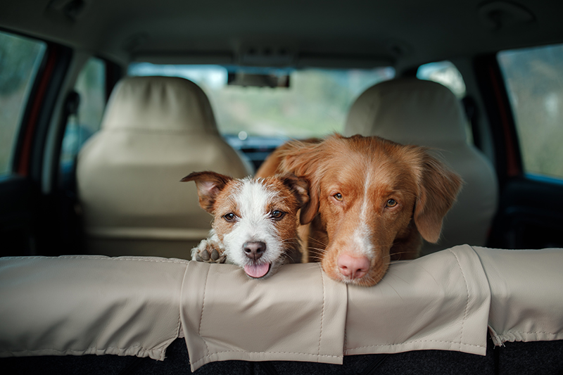 two dogs in backseat of car