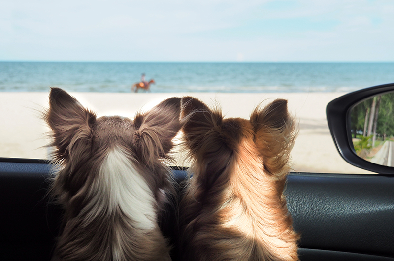 two dogs looking out car window at beach
