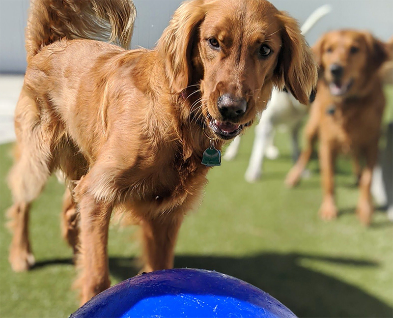 dogs playing outside at doggy day camp