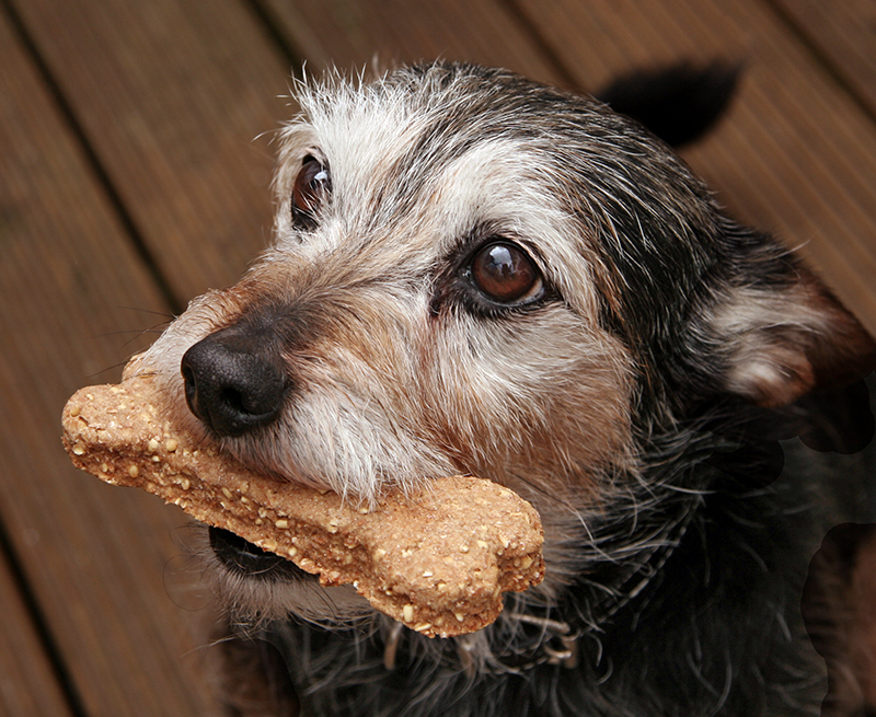 dog with dog biscuit treat