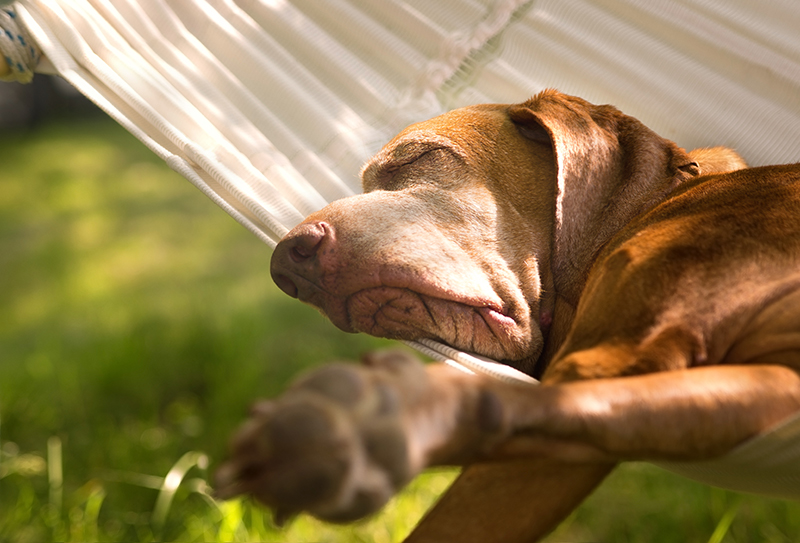 dog sleeping on hammock summer