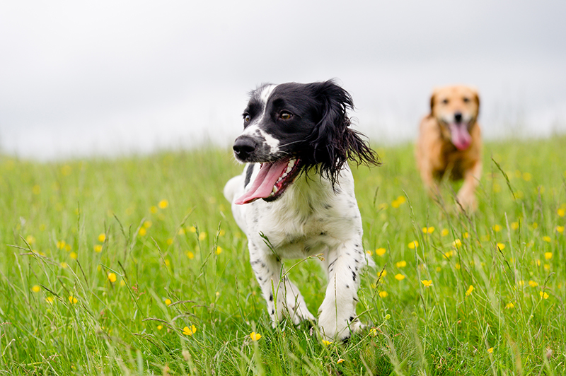 dogs running and playing in grass