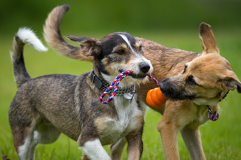 dogs playing with toy